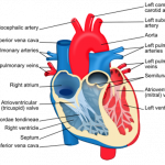 Diagram of cross section of heart