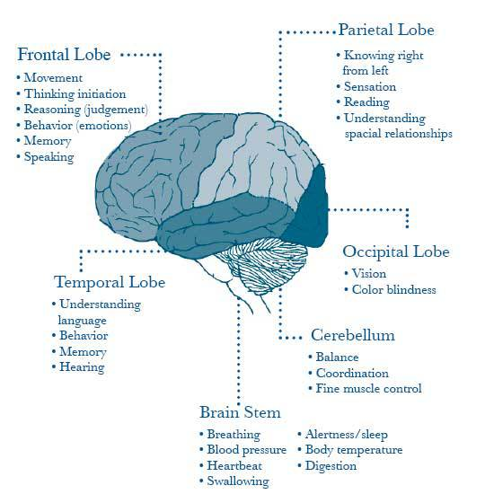 Areas of the brain and what they do