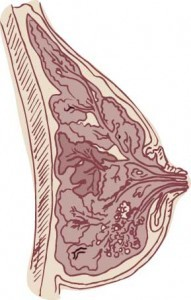 Cross section of breast