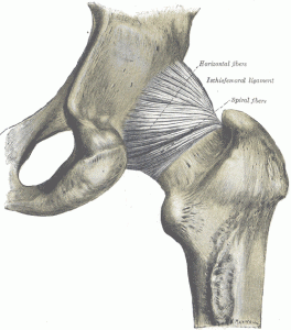 The ischiofemoral ligament of the hip