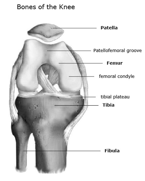 Bones of the knee joint
