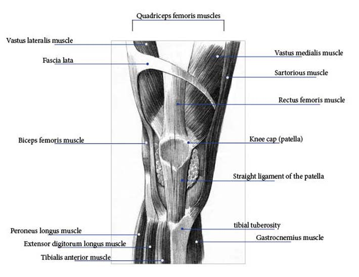 knee anatomy pictures  bones  ligaments  muscles  tendons