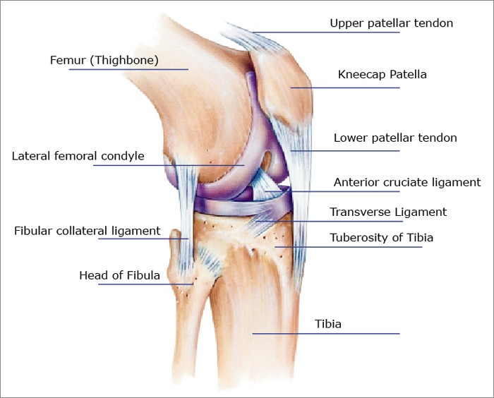 Lateral view of knee tendons, ligaments and bones.