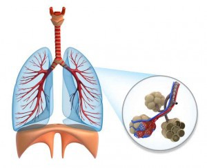 Lungs, Diaphragm and Alveoli