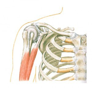 Shoulder Joint, joint capsule