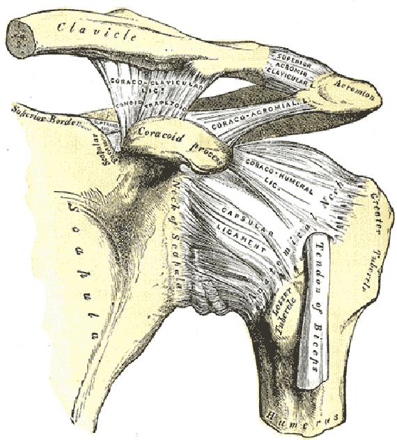 Shoulder joint anatomy ligaments