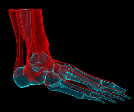 tendons of foot. tendons (red) of the foot