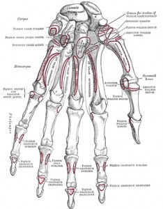 Bones of the back of the left hand