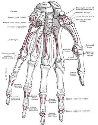 Bones of the back of the left hand, carpal, metacarpal, phalanges