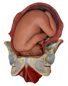 Fetus in the uterus