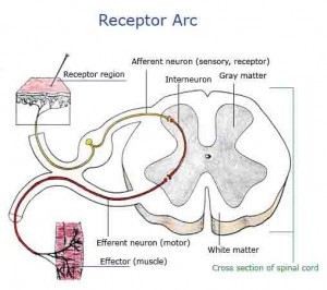 Receptor Arc Labeled