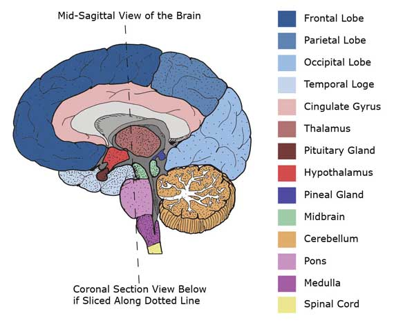 Mid-Sagittal Cross Section of Brain