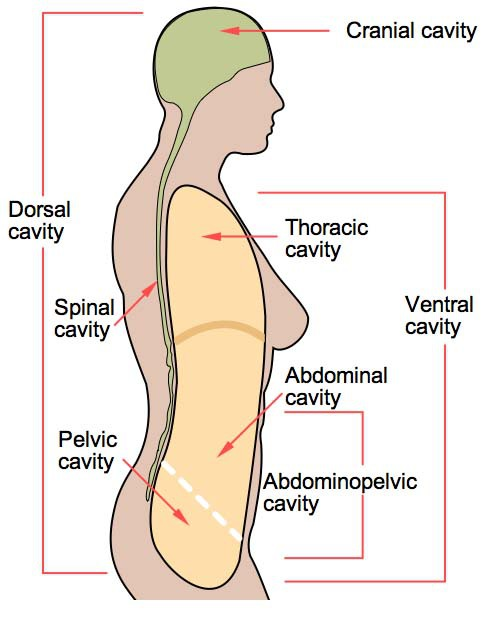Abdominal Cavity Organs Internal Organs Of Abdominal Cavity Human Anatomy Library in addition Body Cavities And Membranes also Structure Urinary System further Abdominal regions besides Abdominal cavity. on abdominopelvic cavity organs