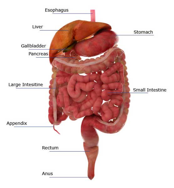 The Digestive and Endocrine System Game