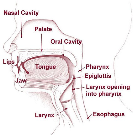 Structure And Function Of The Mouth 101