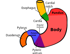 Regions of the Stomach
