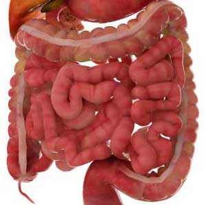 Small intestines inside large intestine