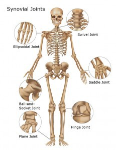 Synovial Joints of the Body
