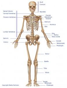 Labeled Skeleton System