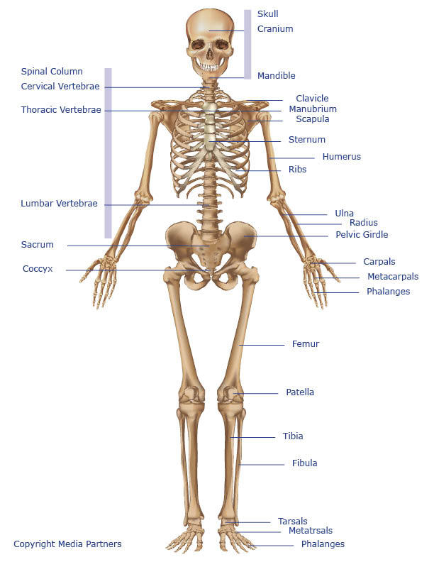 Skeletal System Skeleton Diagram Labeled