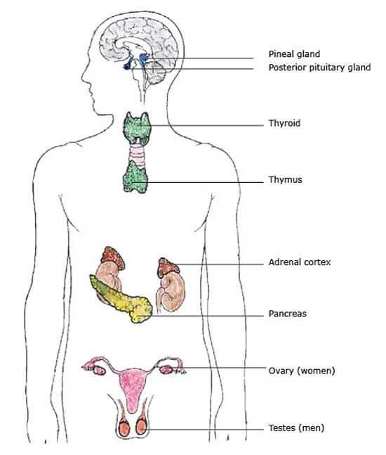 Endokrines System. the endocrine system and its glands. cancer heart ...
