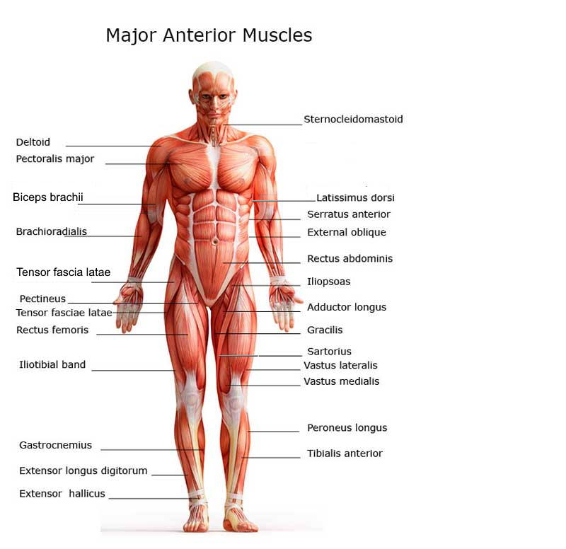 Anatomy Major Anterior Muscles