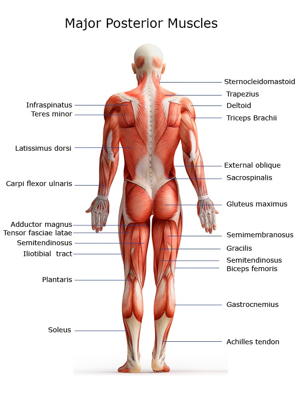 Major Muscles on the Back of the Body
