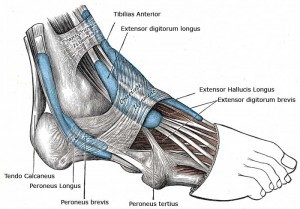 Muscles in the foot