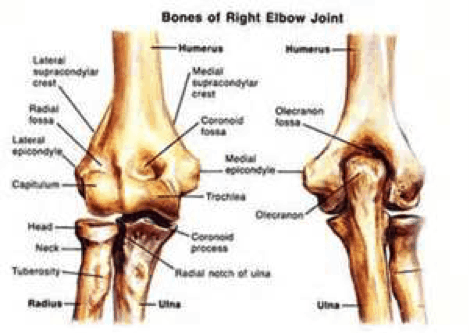 Elbow Bones Picture