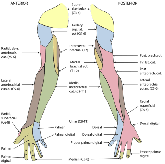 Dermatomes of the right shoulder, arm and hand.