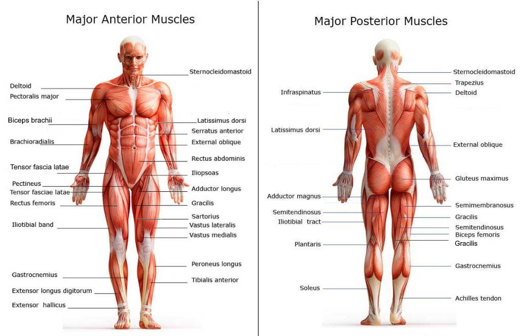 All of the major muscle groups on both the front and back of the body with the names of each muscle shown
