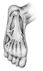 plantar-fascia on the bottom of the foot